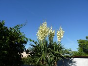 Mrazuodolné juky - rod Yucca - Stránka 11 P1100170