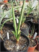 Mrazuodolné juky - rod Yucca - Stránka 2 DSCF3884