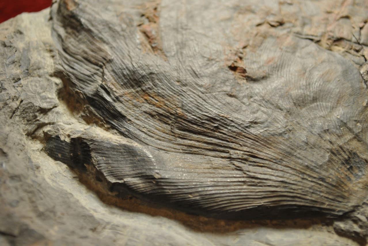 Neuropteris ovata Hoffmann . Cyclopteris Brongniart , 1830.  DSC_4646
