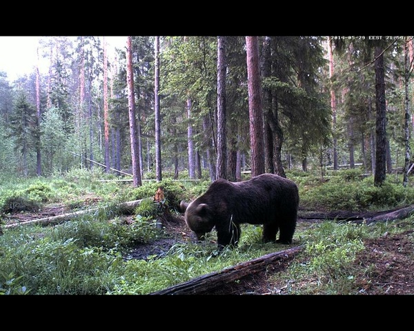 Alataguse Bear Cam 2013 - Page 5 2014_29_04_grand_ours_21_54