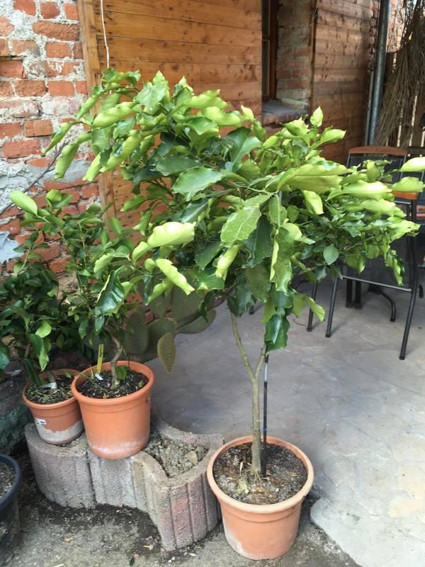 Pomela (Šedok) - Citrus grandis 17091376_1926362177595085_1356599444_o