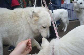 Beli švicarski ovčar, berger blanc suisse, white swis shepherd, witte herder,swtitzserse weisse shafferhund 1888556_847384568608911_5969208650688434412_n