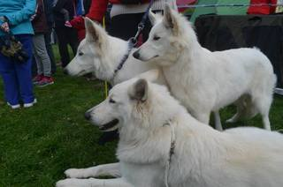 Beli švicarski ovčar, berger blanc suisse, white swis shepherd, witte herder,swtitzserse weisse shafferhund 10001564_847332901947411_2646464071300689757_n