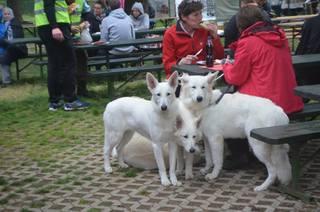 Beli švicarski ovčar, berger blanc suisse, white swis shepherd, witte herder,swtitzserse weisse shafferhund 10288760_847338025280232_8421779630748129924_n