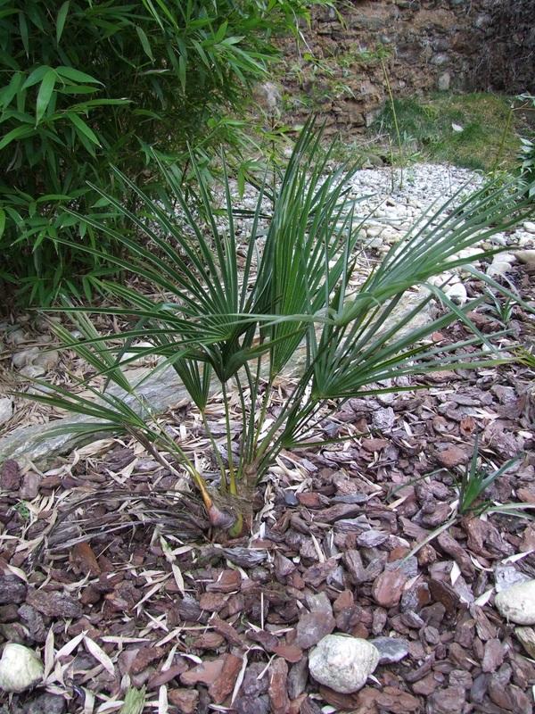 Trachycarpus ukhrulensis/oreophilus (sp. Manipur) DSCF4564