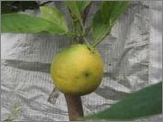 Pomerančovníky - Citrus sinensis - Stránka 3 DSCF5176