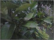 Pomerančovníky - Citrus sinensis - Stránka 2 2014_07_10_20_59_34