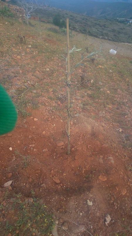 Crecimiento de plantones olivo - Página 9 Xgbl80