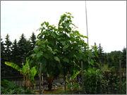 Paulownia tomentosa IMG_5391