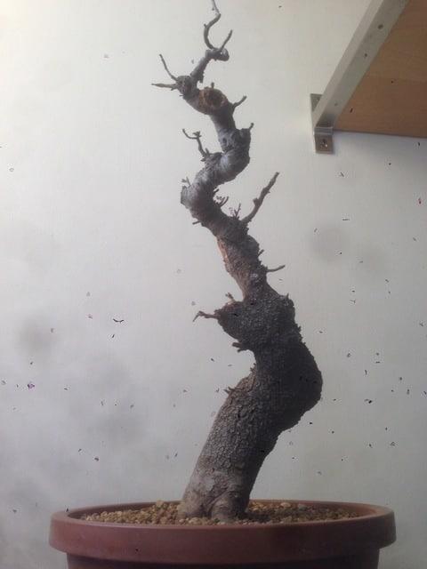 prunus mahaleb grossa talea IMG_0247
