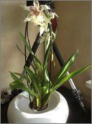 Despre orhideele noastre - discutii - Pagina 3 Image