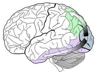 2 目から脳へ(視覚経路) Ventral_dorsal_streams