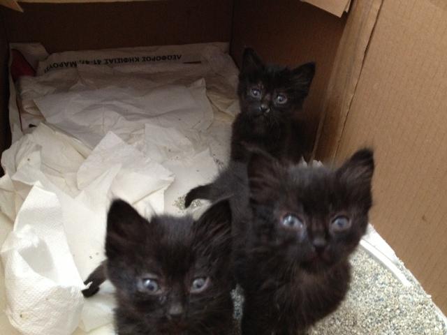 (Υιοθετήθηκαν!) 3 μαύρα γατάκια ζητούν ΑΜΕΣΑ σπιτάκι! Black_cat_6