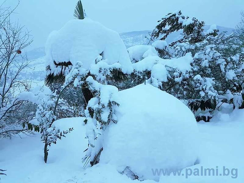 Palmy pod sněhem - Stránka 2 Trachycarpus_bulgaria_in_snow_3