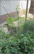 Citronečník trojlistý - Poncirus trifoliata IMG_2028