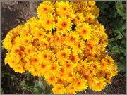 Crizanteme&Tufănele  (temă pentru Ionuţ ) - Pagina 2 Galben_multiflora
