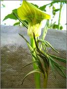 Tropické cibuloviny (Zmijovce, atd) IMG_4732