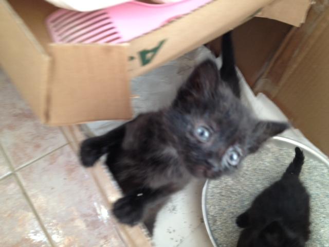 (Υιοθετήθηκαν!) 3 μαύρα γατάκια ζητούν ΑΜΕΣΑ σπιτάκι! Cat_1