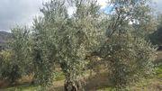 ¿Qué tipo de olivo es el castizo? Zmzbsk
