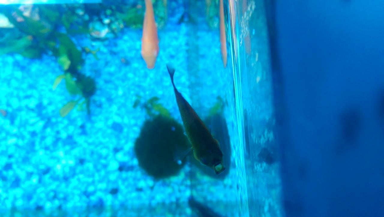 Non-Angel fish health problem IMAG1174