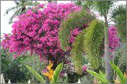 Bougainvillea B_37
