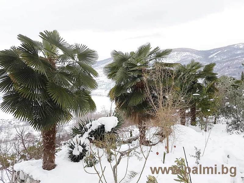 Palmy pod sněhem - Stránka 2 Trachycarpus_bulgaria_in_snow_4