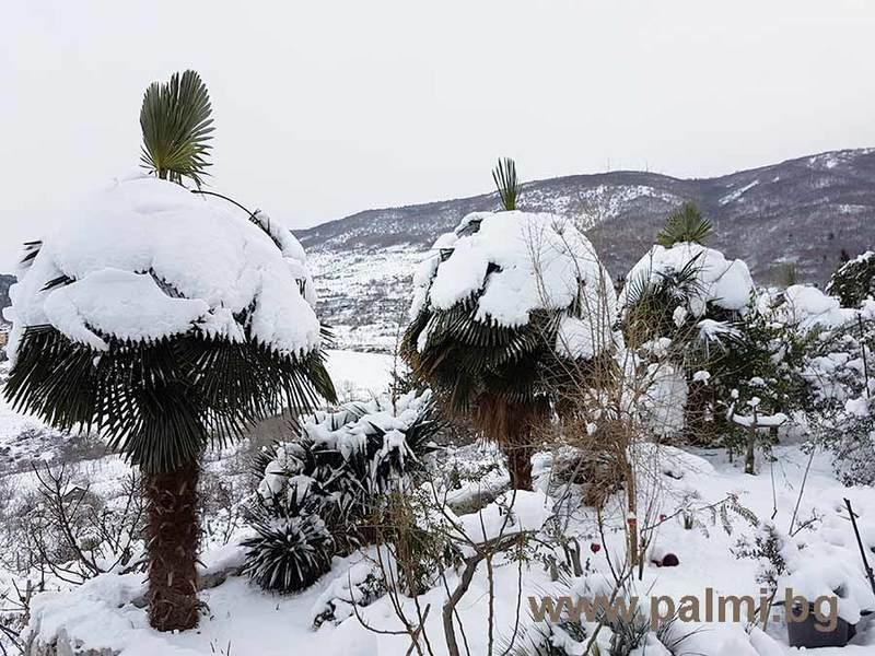 Palmy pod sněhem - Stránka 2 Trachycarpus_bulgaria_in_snow_1