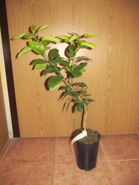 Grepfruity - Citrus paradisi IMG_2042
