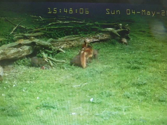 Fox Cam in the Netherlands 2014_05_04_vossen_buiten_15_50_uur_002