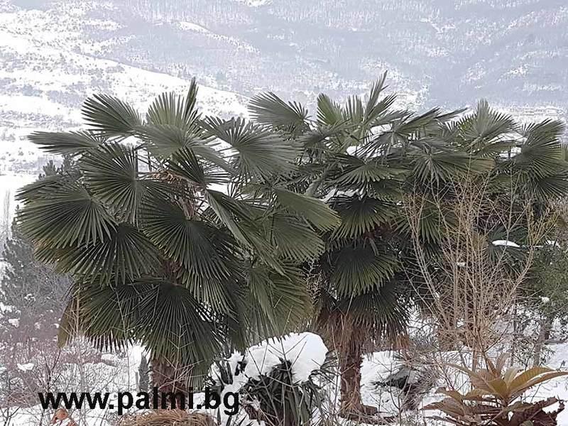 Palmy pod sněhem - Stránka 2 Trachycarpus_bulgaria_in_snow_5