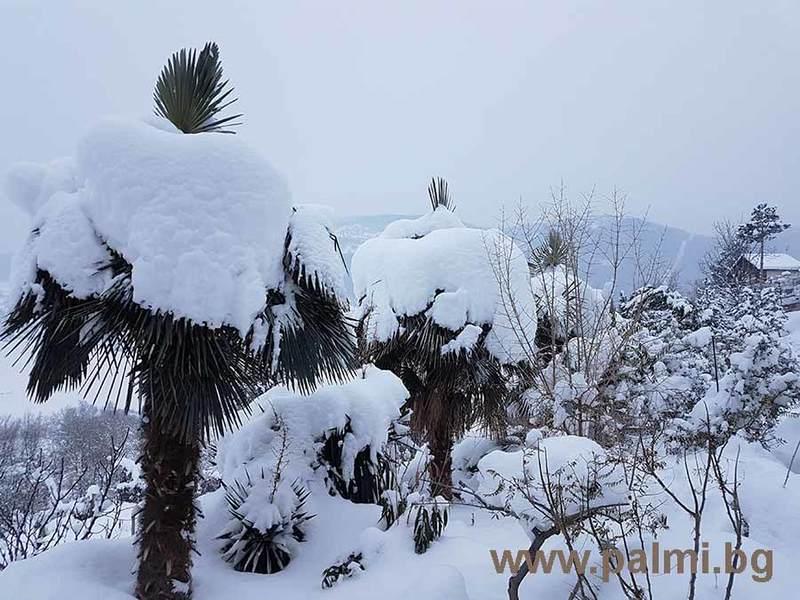 Palmy pod sněhem - Stránka 2 Trachycarpus_bulgaria_in_snow_2