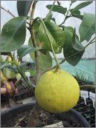Grepfruity - Citrus paradisi Grep_star_ruby