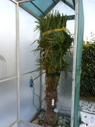 Trachycarpus fortunei, část 2 P1080558