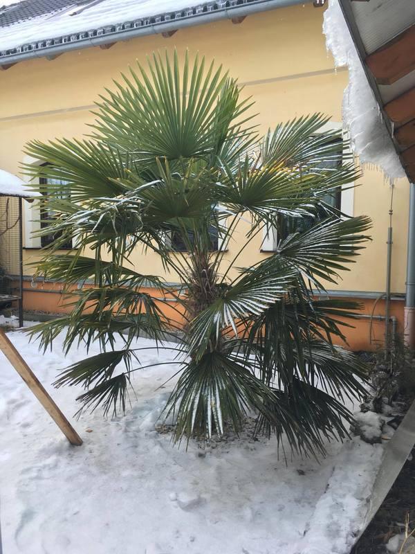 Trachycarpus fortunei, část 2 - Stránka 2 16443746_1911962432368393_494066372_o