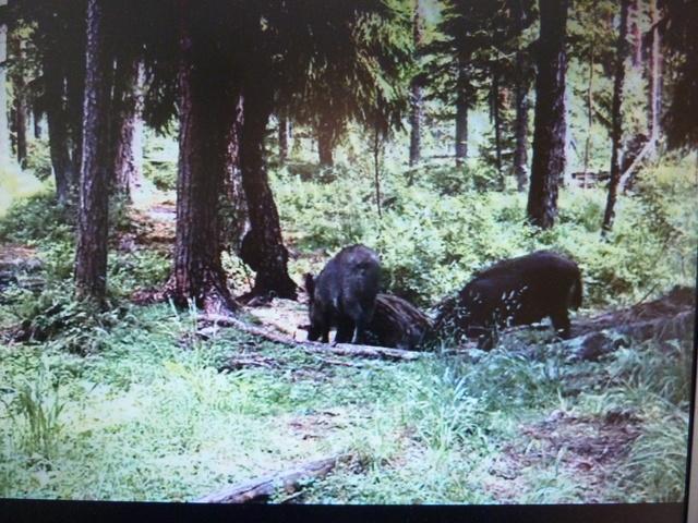 Alataguse Bear Cam 2013 - Page 7 2015_06_24_boars_and_pigs_alutagse_001