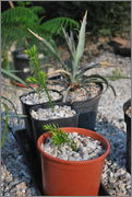 Araucaria araucana DSC_0012
