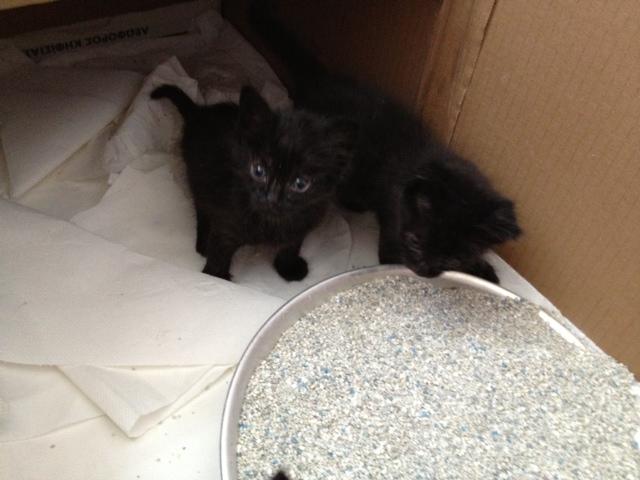 (Υιοθετήθηκαν!) 3 μαύρα γατάκια ζητούν ΑΜΕΣΑ σπιτάκι! Black_cat_2