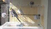 Por ninho em gaiola, com casal e um filhote. Probabilidade de brigas P_20160713_104744