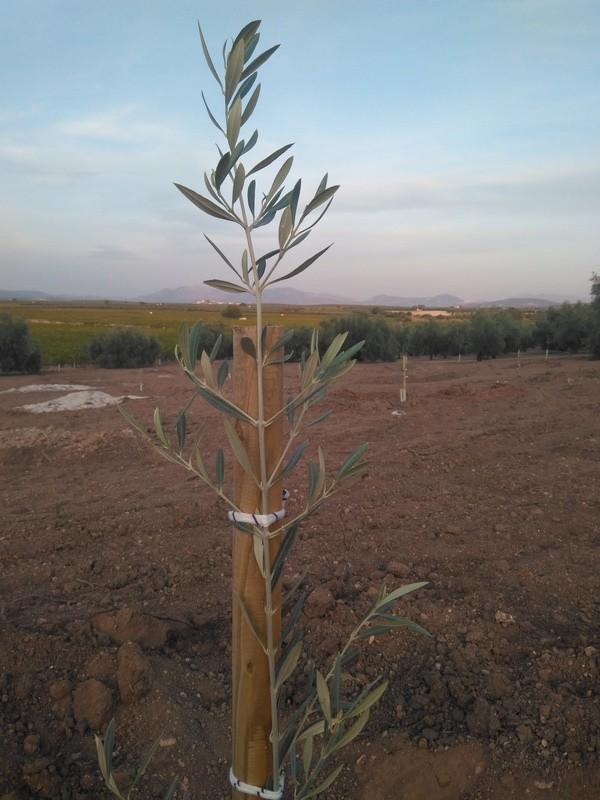 Crecimiento de plantones olivo - Página 12 Img_2025