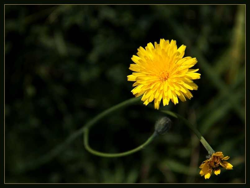 Žuto cveće - Page 2 1dlatkc4hm5