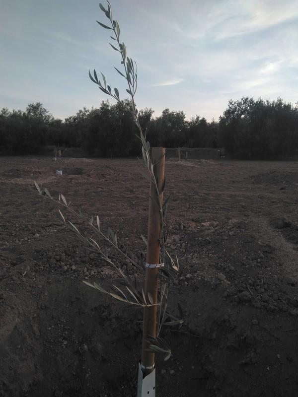 Crecimiento de plantones olivo - Página 12 Img_2023