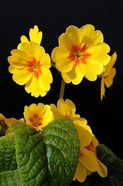 Žuto cveće - Page 3 09xe5r4zaa8