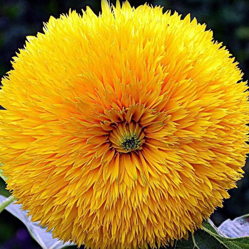 Žuto cveće - Page 2 2dn051tykc2