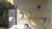 Por ninho em gaiola, com casal e um filhote. Probabilidade de brigas P_20160713_105954