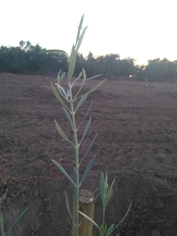 Crecimiento de plantones olivo - Página 12 Img_2026