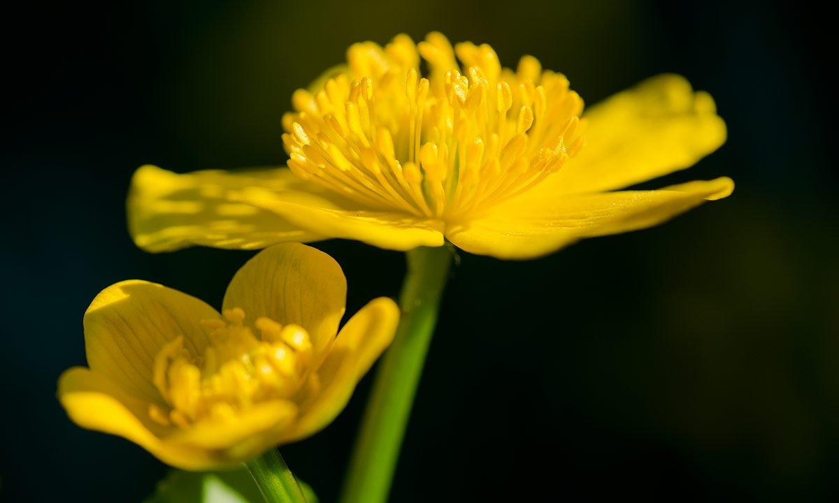 Žuto cveće - Page 3 8vg0b1r8v99