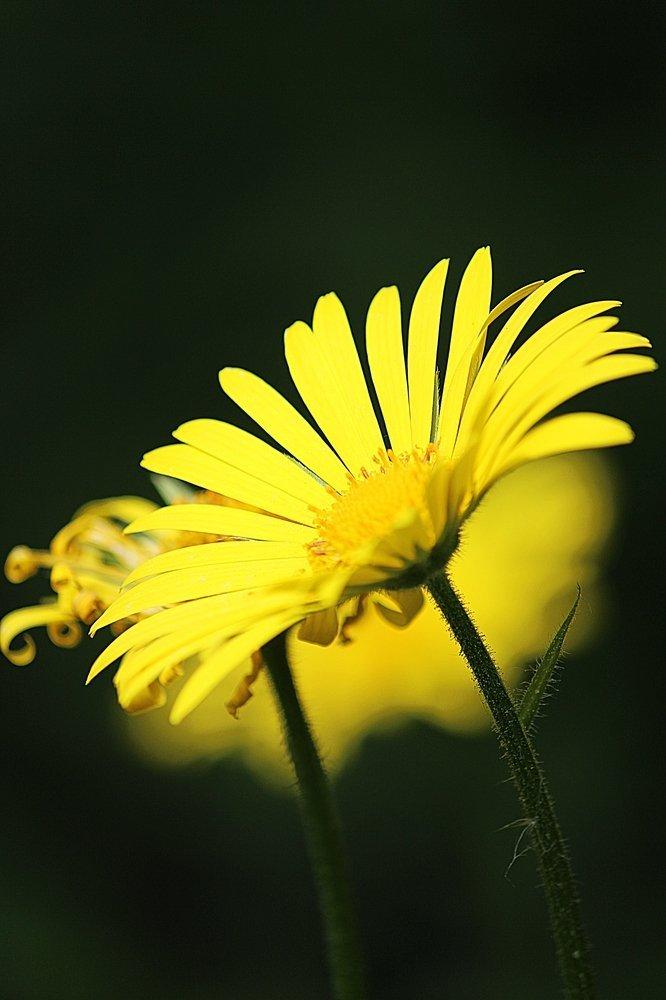 Žuto cveće - Page 3 8f5wu2vjcem