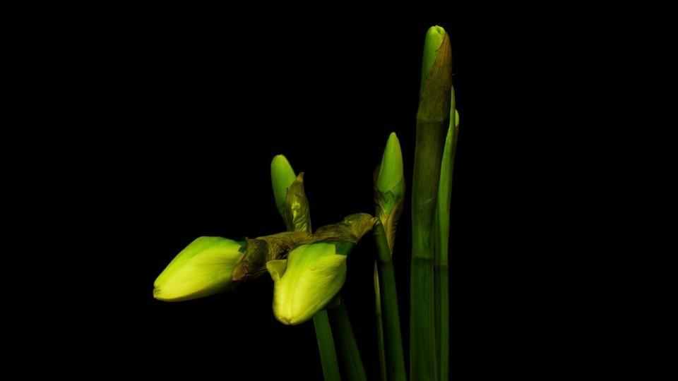 Žuto cveće - Page 3 4d5lv0hznli