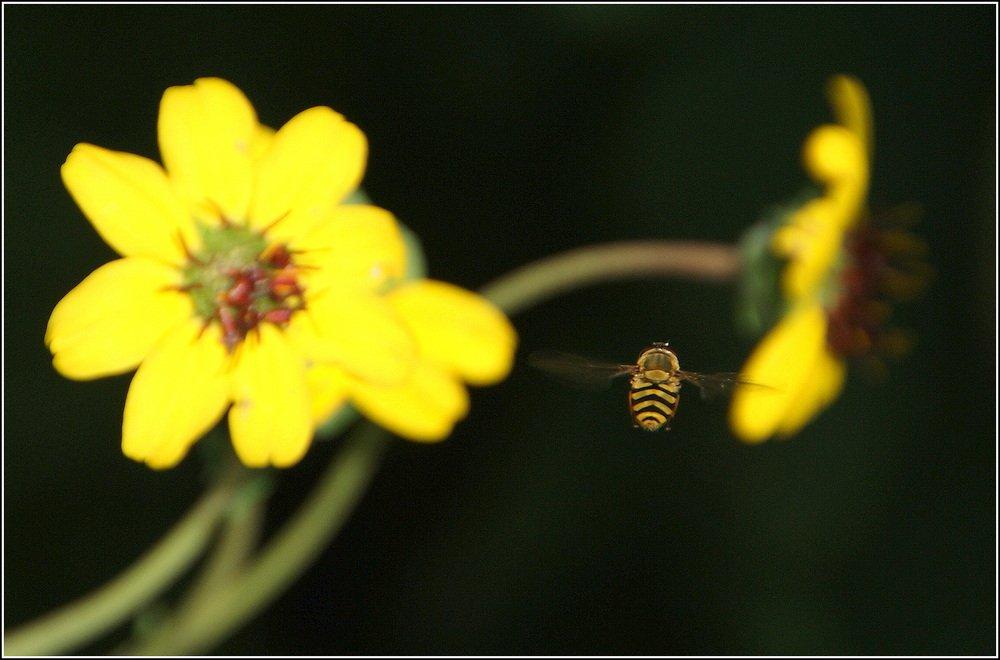 Žuto cveće - Page 2 0vi9bq2egs2