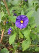 Solanum rantonnetti DSC03722